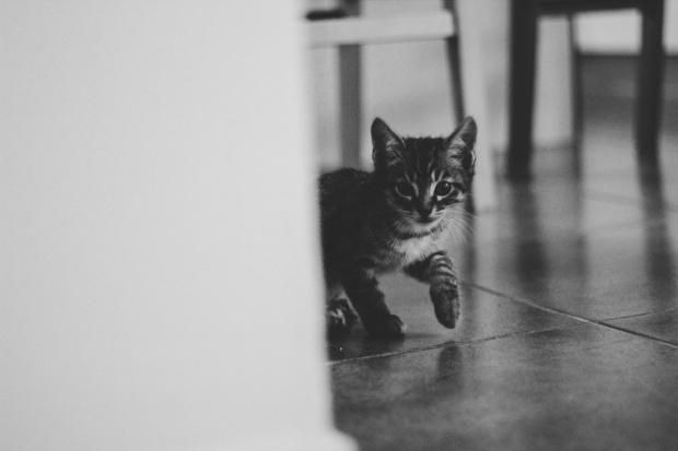 amoremiobello - chaton-tigré noir gris blanc 2 mois-1